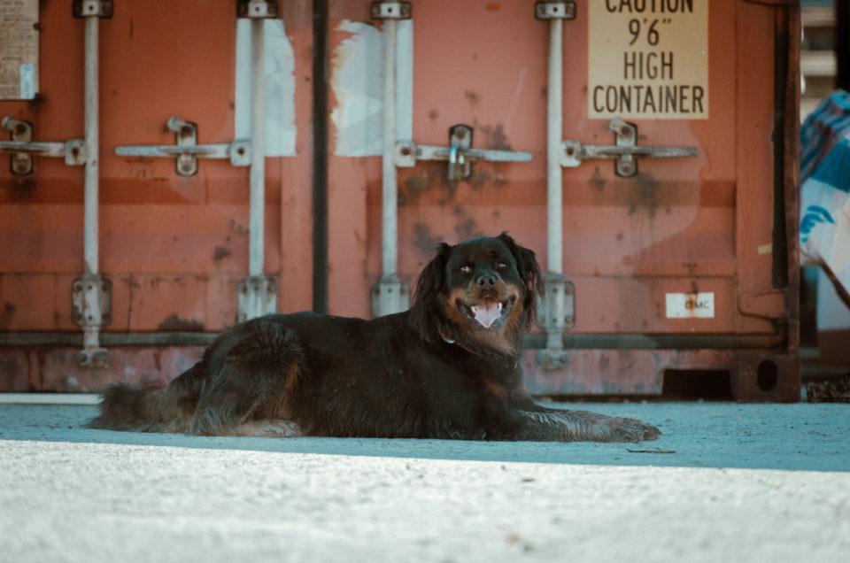 Rocky feinä Hund